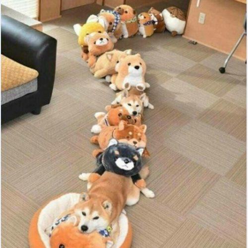 韓国の反応:「日本人が撮った柴犬とぬいぐるみが合体した写真が可愛すぎるんだがwww」→「こんな写真は初めて見ましたよww」